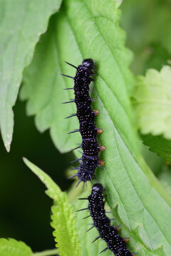 Two small black caterpillars of the genus Aglais have just hatched on a green plant
