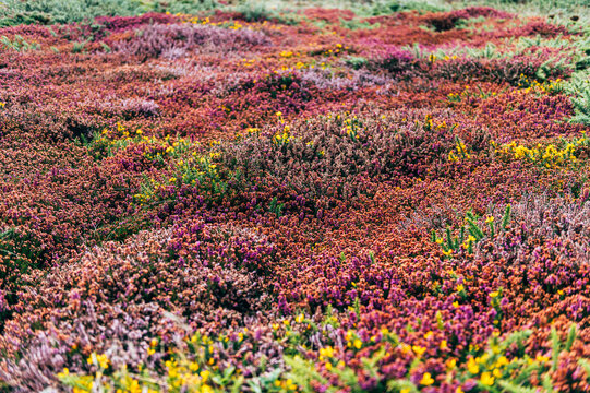 Colorful Heather field blooming during autumn