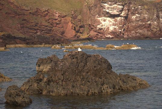 seagull on rock at St. Abbs Bay Berwickshire