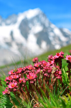 Close-up of beautiful pink flowers Sempervivum montanum or Houseleeks growing in the mountain meadow. Summer landscape with Mont Blanc massif (Monte Bianco) at the background. Aosta Valley, Italy.