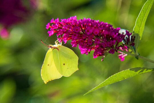 Zitronenfalter - Allgäu - Flieder - Schmetterling - Blume