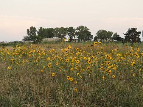 Field of Kansas sunflowers