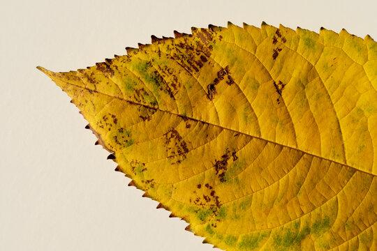 Nice yellow autumn dry leaf