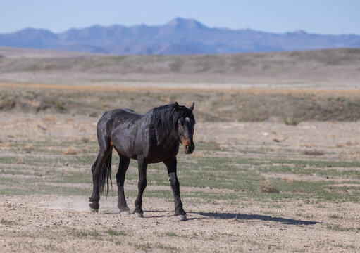 Majestic Wild Horse in the Utah Desert