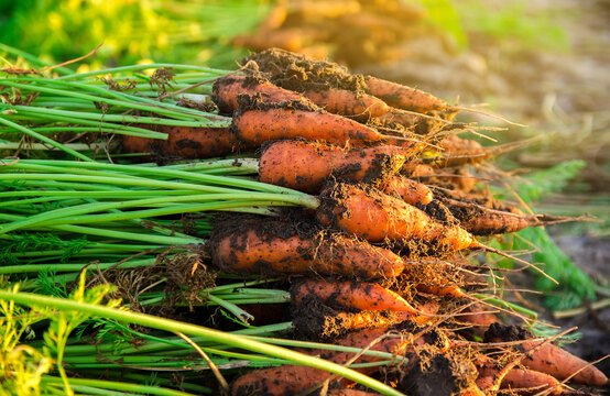 A pile of freshly picked carrots lies on the field on a sunny day. Harvested organic vegetables. Farming and agriculture. Seasonal work. Selective focus