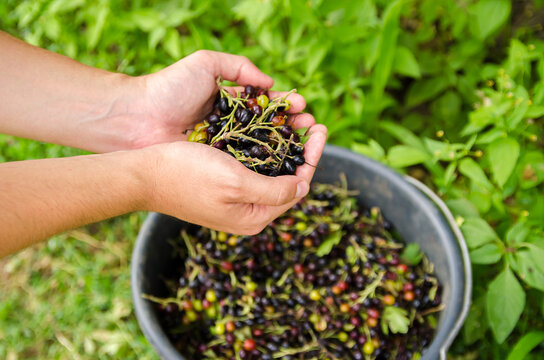 A farmer harvests blackcurrant in the garden. Summer healthy harvest. Berry harvesting. Selective focus