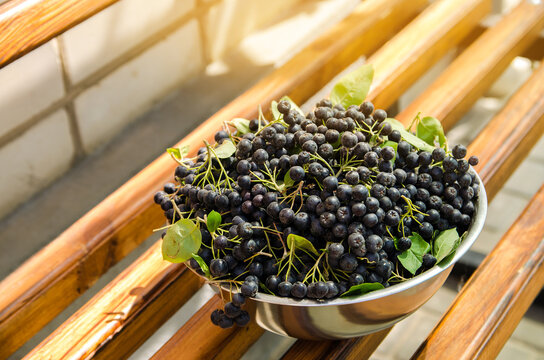 Freshly harvested chokeberry in a plate. Aronia is a genus of deciduous shrubs. Chokeberries. Selective focus