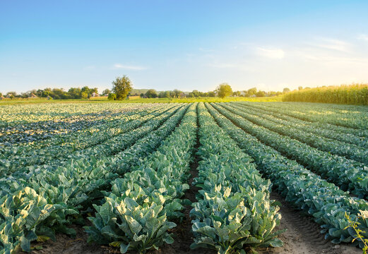 Broccoli plantations in the sunset light on the field. Cauliflower. Growing organic vegetables. Eco-friendly products. Agriculture and farming. Plantation cultivation. Selective focus
