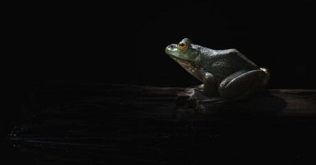 Fototapeta Bullfrogs obraz