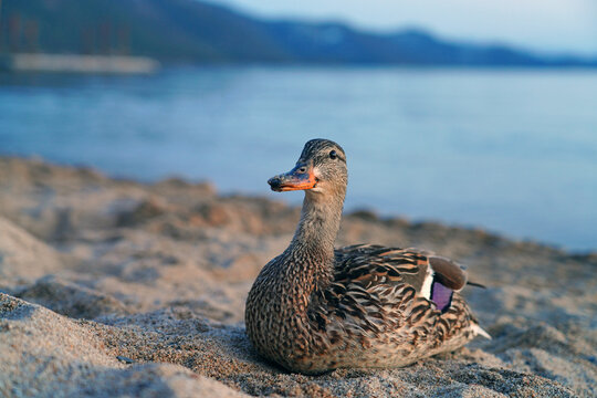 A female duck on the sand on the shore of Lake Tahoe, Nevada