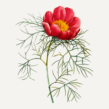 Red peony flower botanical vector, remixed from artworks by Pierre-Joseph Redouté