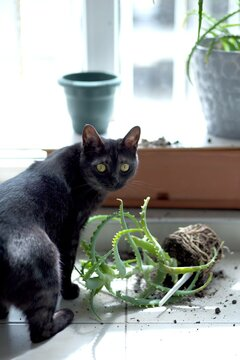 The domestic cat dropped the indoor flower and scattered the earth