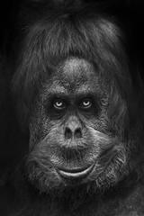 Scary monkey or Bigfoot, menacing look scary eyes head portrait close-up, black