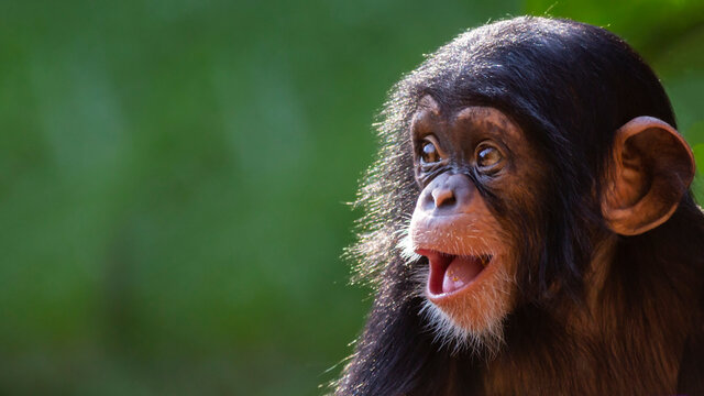 Close up portrait of a happy baby chimpanzee with a silly grin with room for text