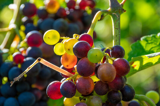 Colorful, ripe, natural, healthy grapes that are ready to be harvested or eaten