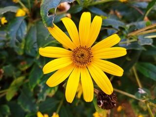 Piękny żółty kwiat słonecznika w zielonym tle