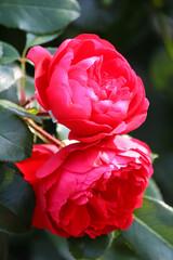 Fototapeta Czerwona róże odmiany