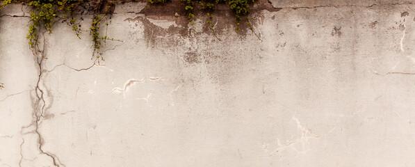 Naturalne tło postarzanego muru z teksturą pęknięć z zieloną rośliną - rozchodnik.