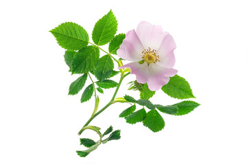 Fototapeta wild rose flowers on white isolated background obraz