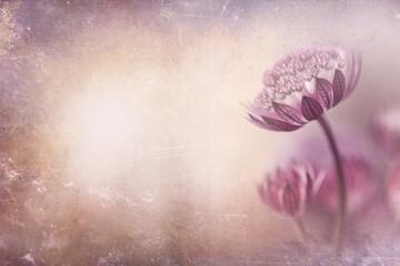 Panoramiczne ujęcie kwiatów Astrantia z miejscem do wklejenia