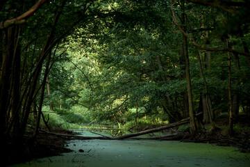 Fototapeta Potok płynący przez zielony las obraz
