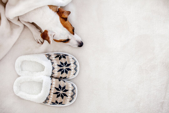 Dog near to slippers under the rug