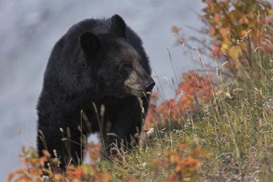 Autumn bear feeds on vegetation along Medicine Lake in Jasper National Park in Alberta, Canada