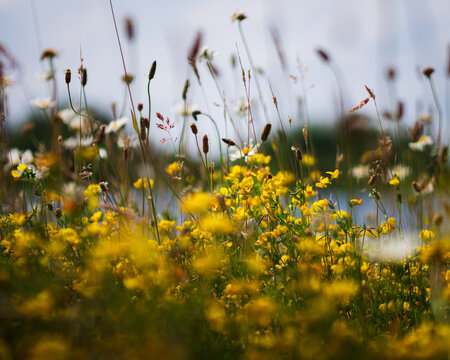 Closeup shot of yellow flowers growing in a field