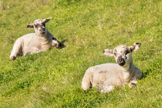 closeup of two newborn lambs sunbathing on green grass with copy space
