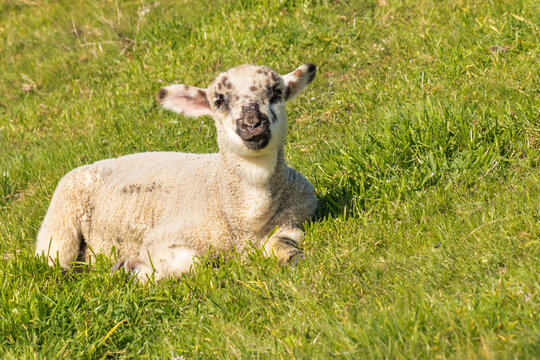 closeup of cute newborn lamb basking on green grass with copy space