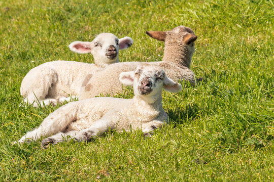 three cute newborn lambs basking on green grass with copy space on right