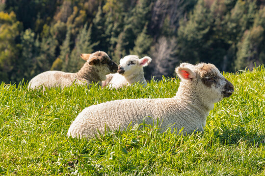 closeup of cute newborn lambs basking on grass with blurred background and copy space