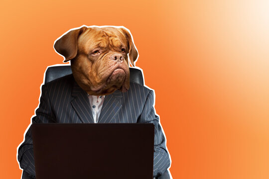 Businessman with dog face. Dogue de Bordeaux with human body.  businessman is typing something in laptop. Art illustration on theme of business. Creative collage with dog man. Gloomy investor