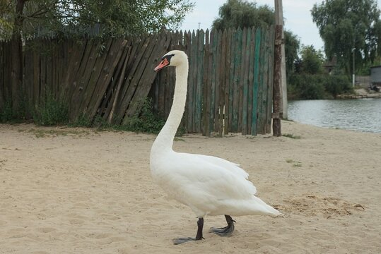 one large white wild bird swan stands on gray sand near a wooden fence and lake water