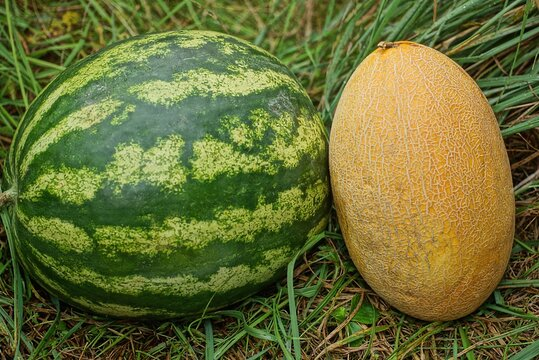 two fresh fruits of striped green watermelon and yellow melon lie in the grass in nature
