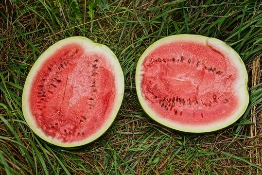 a big two piece of ripe red watermelon lies among the green grass of vegetation in nature