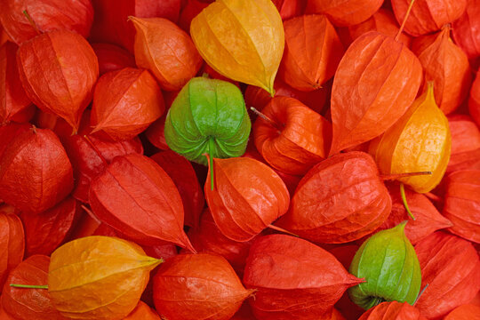 Früchte der  Lampionblume, Physalis alkekengi, in einer Nahaufnahme