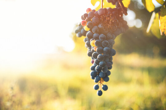 Bunch of red grapes with vineyard background. Production of balsmaic vinegar of Modena.
