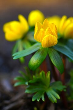 Small yellow flowers of eranthis winter aconite in early spring