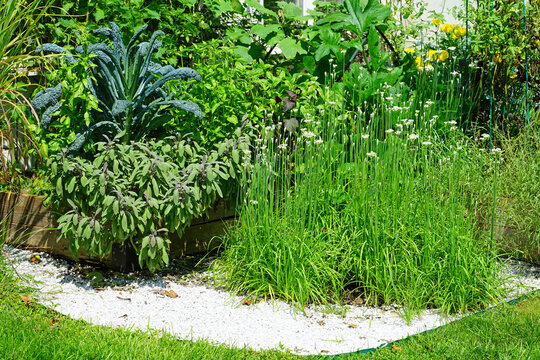 View of a thriving kitchen garden with herbs and vegetables growing in raised beds in summer