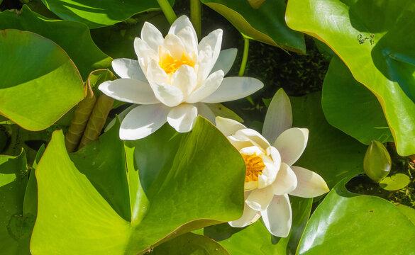 Weiße Wasserlilien