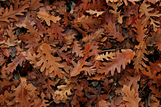 Bunch of brown fallen leaves scattered on the ground. Symbolic autumnal background with a lot of copy space for text. Top view, flat lay.