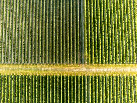 Baumreihen einer großen Obstplantage aus der Luft gesehen als Hintergrund oder Textur