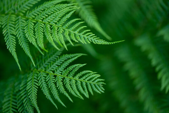 Relaxing green hues of fern. Beautiful natural lush green fern leaves motive with selective focus.