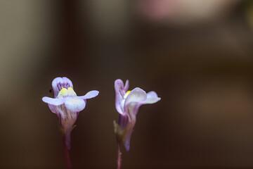flor perrito o snapdragon, foto macro y con flash