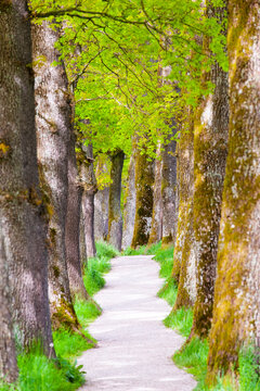 small footpath through a alley with oak trees