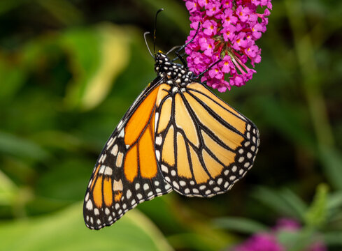 Beautiful orange and yellow monarch butterfly feeding on the plants in a domestic garden