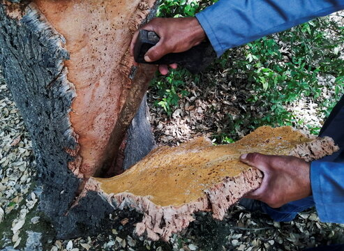 Mouhamed Rebhi harvests cork from the trunk of a cork tree in Ain Drahem forest in Jendouba