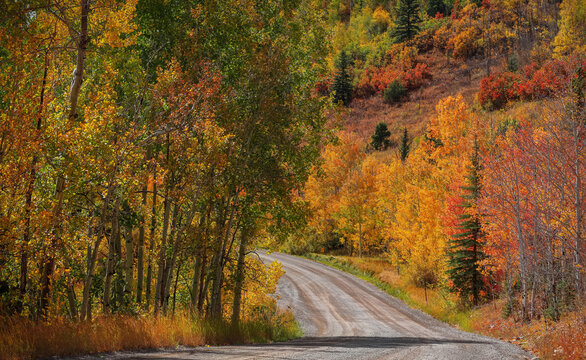 Bright Aspen trees in along scenic back road in Colorado during autumn time