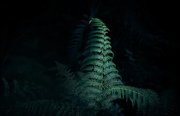 Obraz Liść paproci na czarnym tle. Liść wyizolowany z tła, natura w lesie - fototapety do salonu